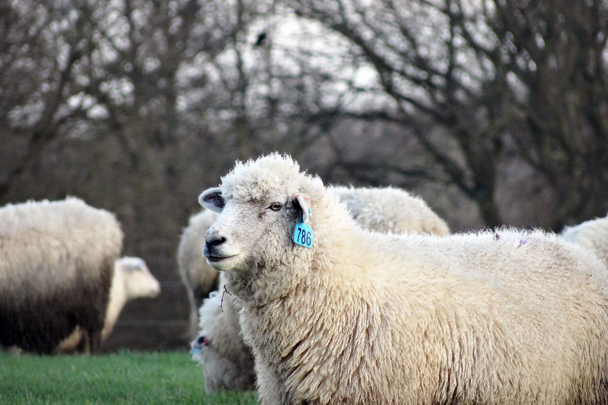 Paley farm sheep